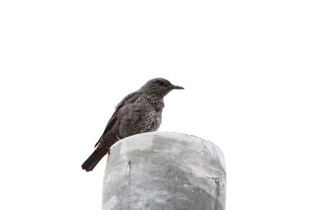 イソヒヨドリ♀親鳥IMG_7560