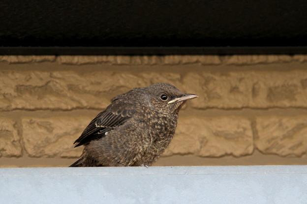 イソヒヨドリ幼鳥IMG_7586