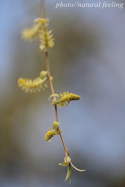 シダレヤナギの花3
