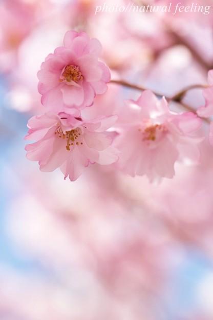 しだれ桜がパステル色になった^^