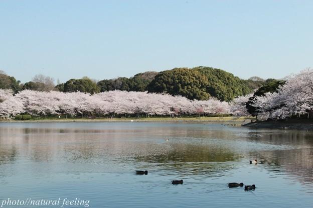 鳥さんも池からお花見^^2