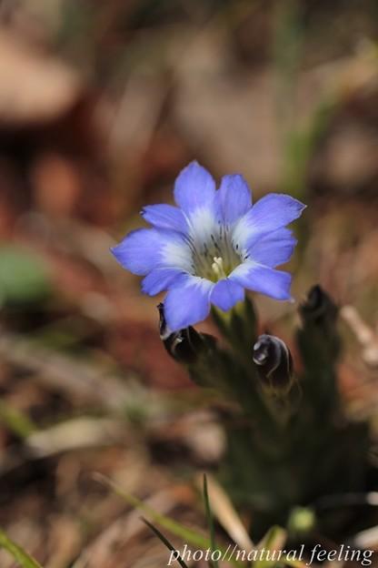 小さな紫の花ハルリンドウが六甲山で咲く