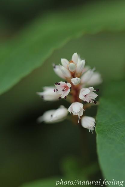 小さな白いハルトラノオが六甲山で咲く2