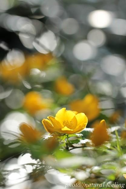 ヤマブキ光の波の中で咲く3