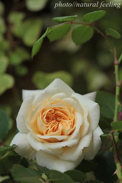 クロッカスローズが咲き始めたよ^^2