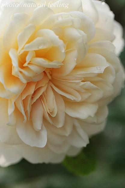 クロッカスローズが咲き始めたよ^^3