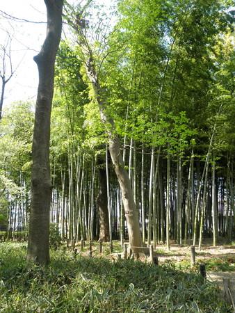 蘆花恒春園-06孟宗竹の竹林