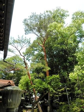 祇園寺-06「自由の松」_板垣退助手植えの松