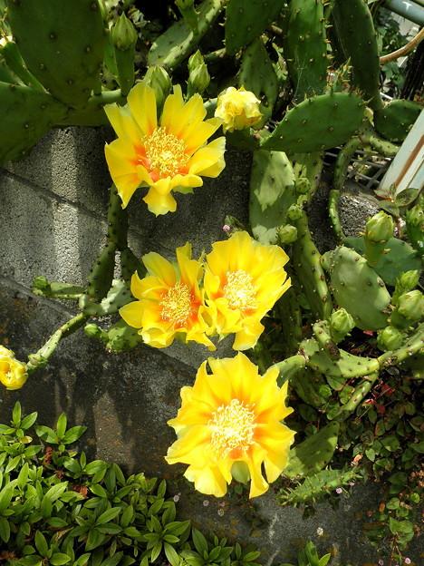 道すがらの花a野川沿い_サボテンの花2