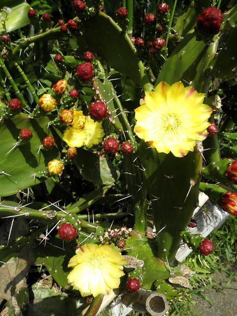 道すがらの花a野川沿い_サボテンの花1