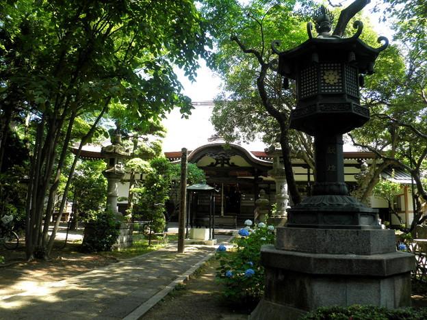 泉龍禅寺(狛江)-06本堂b-1紫陽花