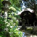 Photos: 泉龍禅寺(狛江)-06本堂c紫陽花