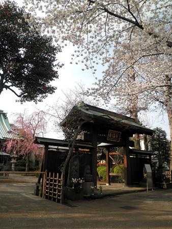 壽福寺-桜-05