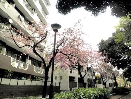 駒繋神社-八重桜-01蛇崩川緑道