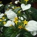Photos: コンロンカ(ハンカチの花)FP F11(1) 0302