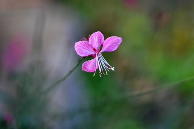 たまには花を~ガウラ・山桃草