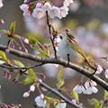 Photos: ムシクイ~桜
