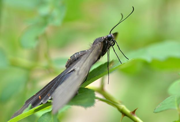 クロアゲハ蝶