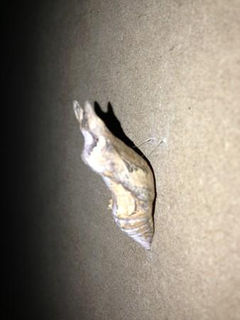 アゲハ蛹1