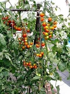 ミニトマト豊作