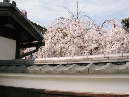 塀越しの枝垂桜