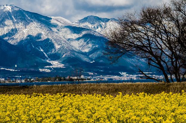 菜の花と雪
