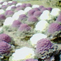 Photos: 花キャベツ