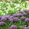 Photos: 紫色の紫陽花
