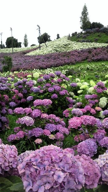 紫陽花のタペストリー
