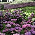 Photos: 紫陽花のタペストリー
