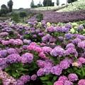 Photos: 紫陽花の花畑