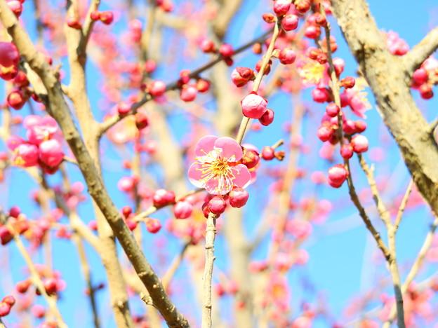 梅干しの生る木