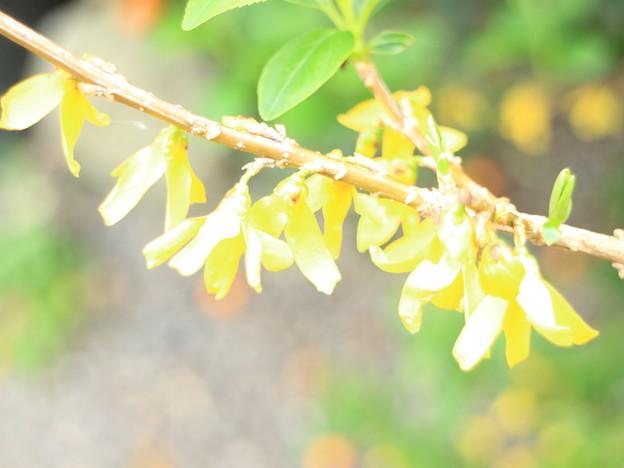 黄色い妖精