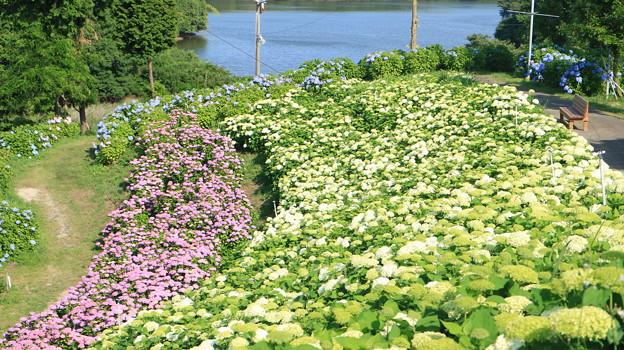 風早池と紫陽花