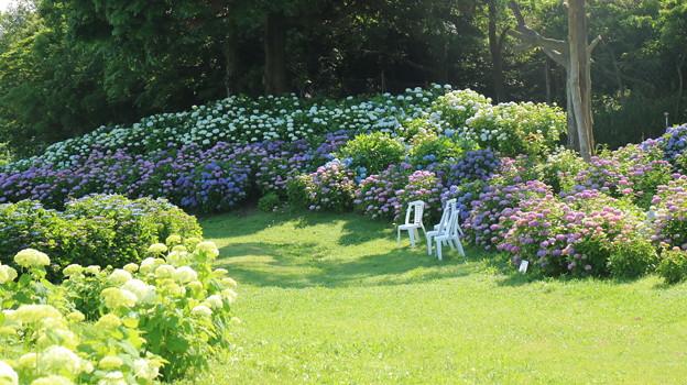 かざはやの里の紫陽花