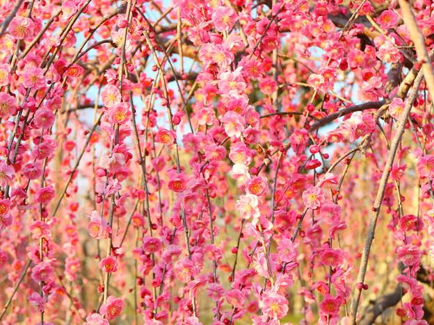 八重咲の紅梅