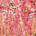 写真: 八重咲の紅梅