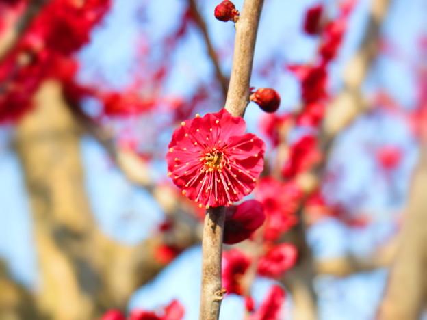 写真: 紅梅の花