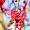 Photos: 紅梅の花