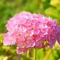 写真: ピンク手毬
