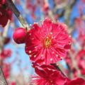 写真: 紅色の春