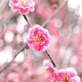 八重咲紅梅