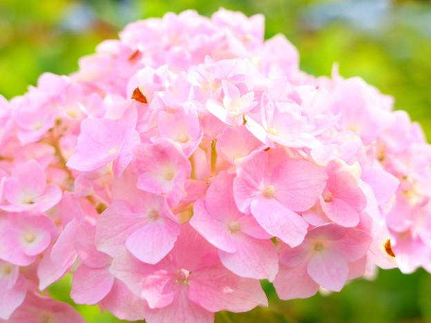 ピンク手毬