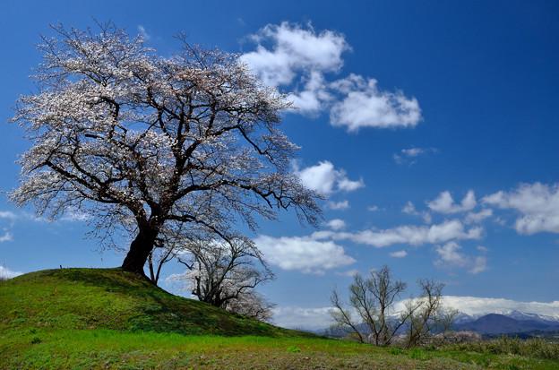白石川堤一目千本桜(2)