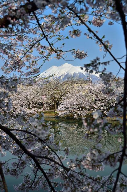 弘前公園・桜の頃 (8)