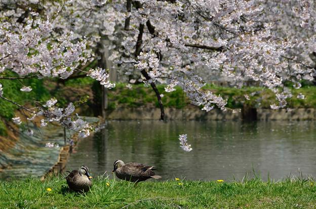 弘前公園・桜の頃 (9)
