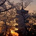 桜に埋まる