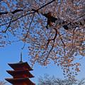 五重塔と桜(朝)
