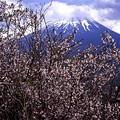 富士桜咲く (1 - 1)