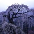 Photos: 老樹 (1 - 1)